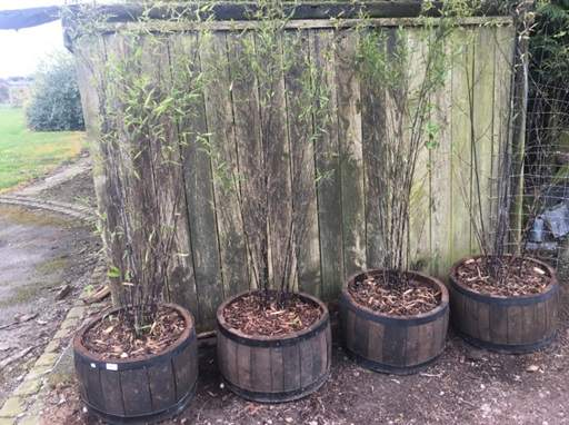 How to grow bamboo in a container - Jackson's Nurseries