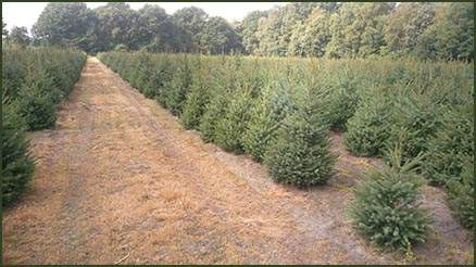 Real Fresh Christmas Tree Farm