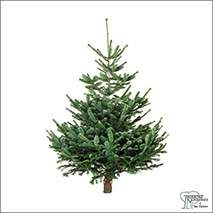 Buy Real Christmas Trees - Nordmann Fir (Abies Nordmanniana) online at Jacksons Nurseries