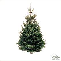 Buy Real Christmas Trees - Norway Spruce (Picea Abies) online at Jacksons Nurseries