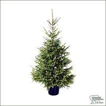 Buy Real Christmas Trees - Serbian Spruce (Picea Omorika) online at Jacksons Nurseries