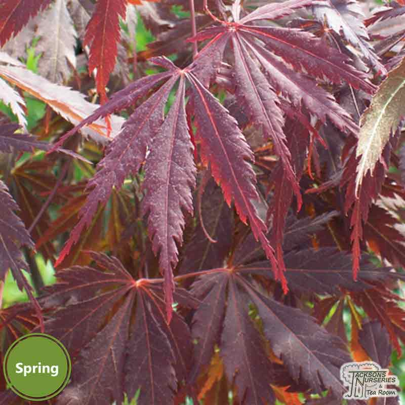 Buy Acer Palmatum Burgundy Lace Japanese Maple In The Uk
