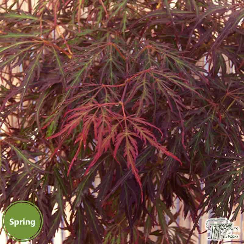 Buy Acer Palmatum Dissectum Crimson Princess Japanese Maple In The Uk