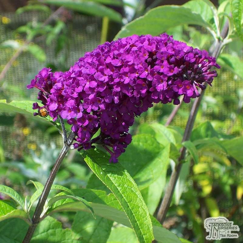 Buy Buddleja Davidii Royal Red Butterfly Bush In The Uk