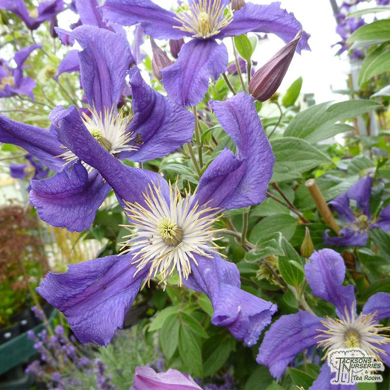 Buy Clematis Blue Pirouette Clematis In The Uk