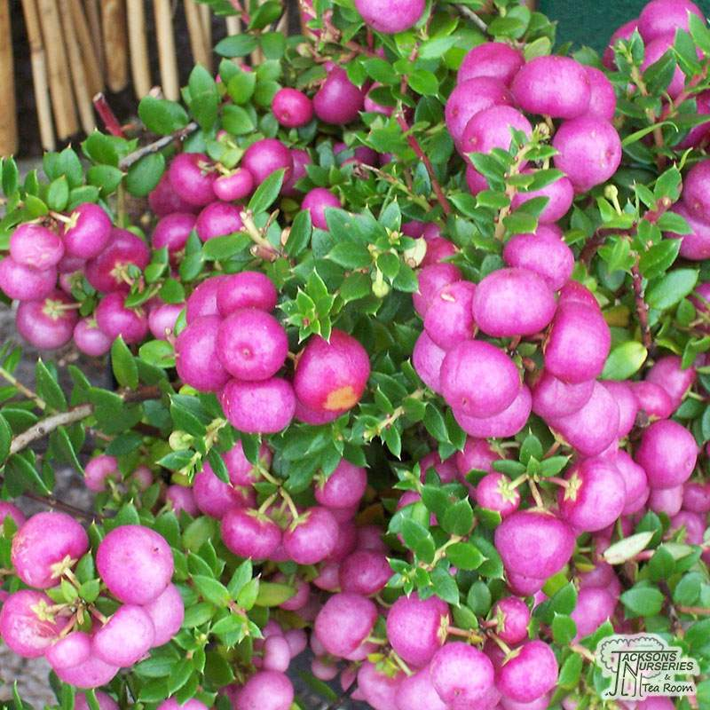 Pernettya Berries.Buy Gaultheria Mucronata Rosea Female Prickly Heath Pernettya In The Uk