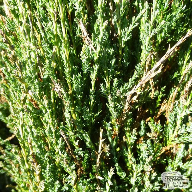 Buy Juniperus Scopulorum Skyrocket Juniper Skyrocket In
