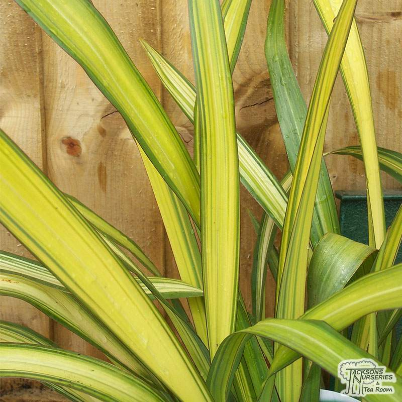 Buy Phormium Yellow Wave New Zealand Flax In The Uk