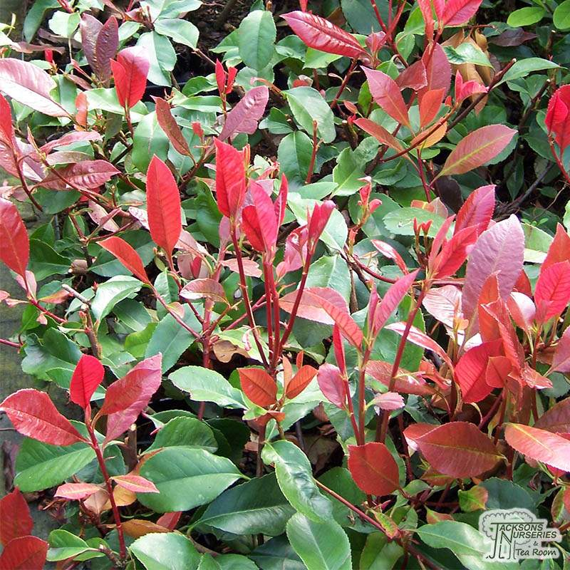 Buy Photinia Fraseri Red Robin Photinia In The Uk