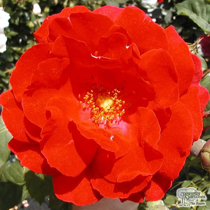 237ef99daf8b Buy Rosa Paul's Scarlet online from Jacksons Nurseries ...