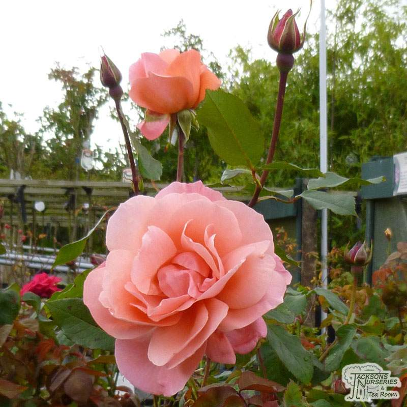 Hybrid T Rose Lovers Meeting Gorgeous Orange Double Rose in 2 Litre DEEP Rose Pot 2 Year Old Quality Plant
