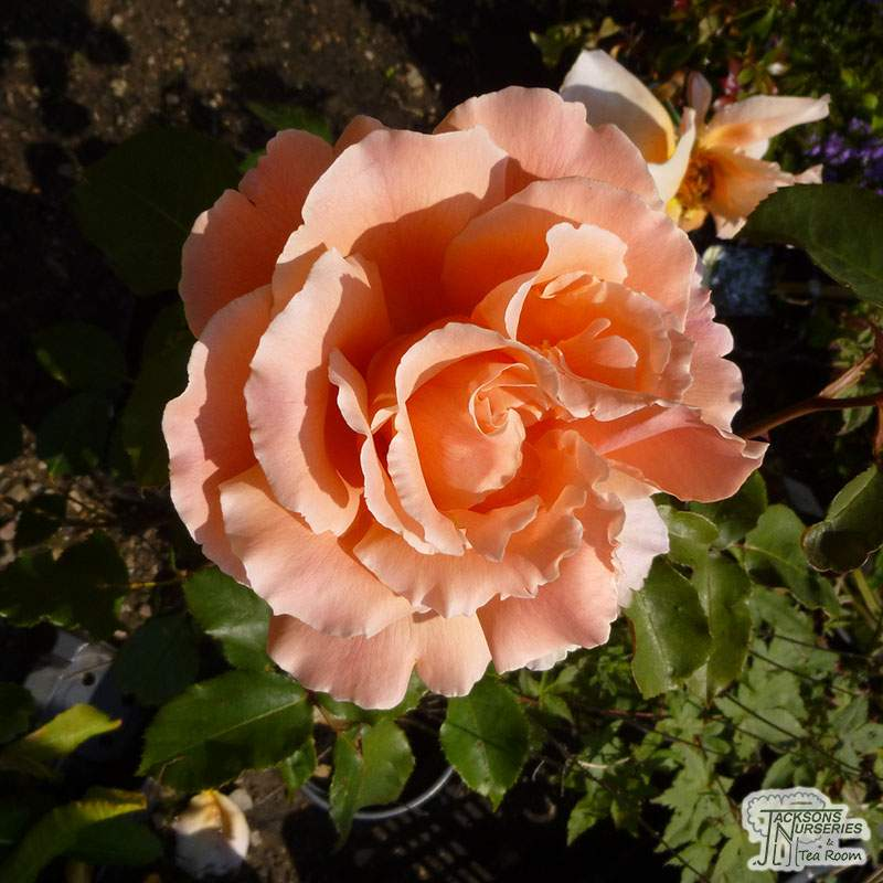 Buy Rosa Just Joey Hybrid Tea Rose In The Uk