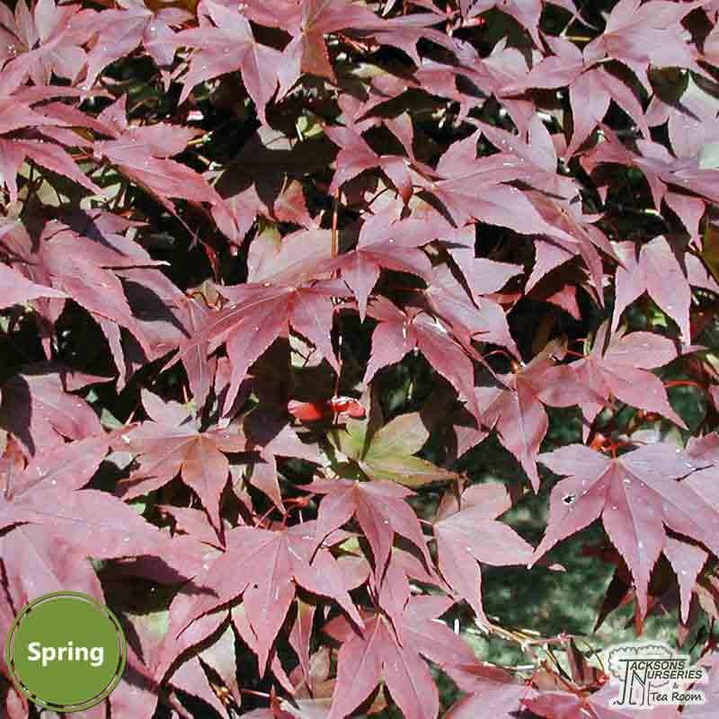 Buy Acer Palmatum Atropurpurea Japanese Maple In The Uk