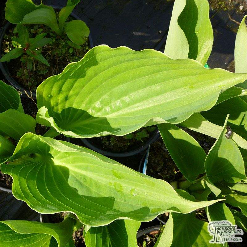 Buy Hosta Sum And Substance Plantain Lily In The Uk