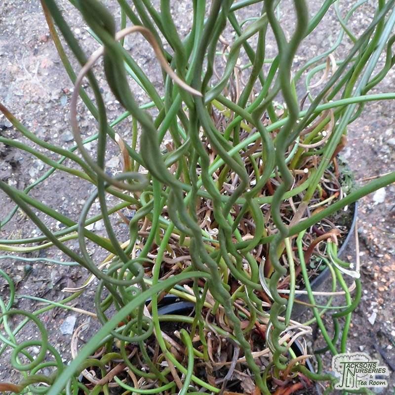 Buy Juncus Effusus Spiralis Lesser Corkscrew Rush In The Uk