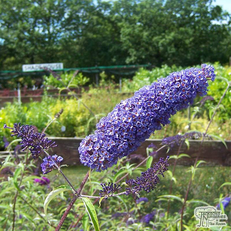 Buy Buddleja Davidii Nanho Blue Butterfly Bush Buddleja In The Uk