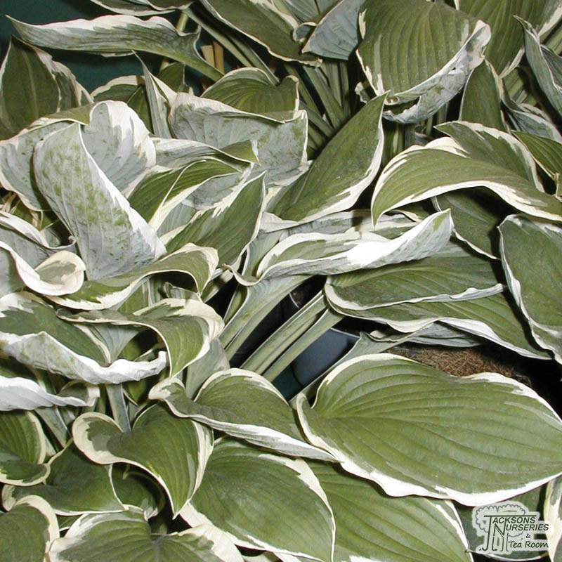 Buy Hosta Francee Fortunei Plantain Lily In The Uk