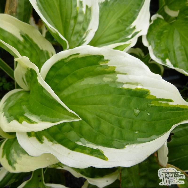 Buy Hosta Patriot Plantain Lily In The Uk