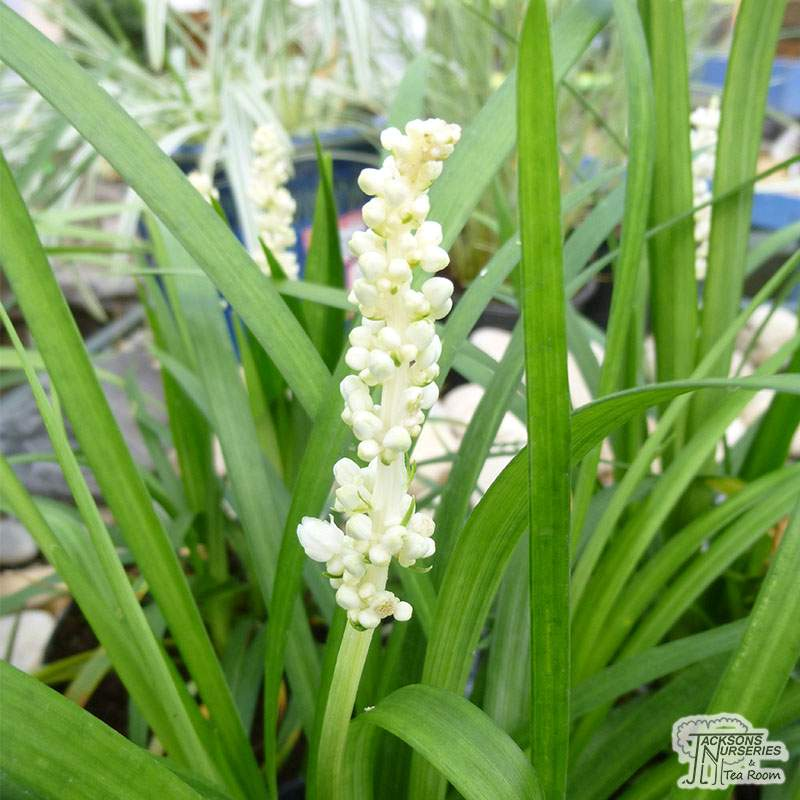 Buy Liriope Muscari Monroe White Monroe White Lily Turf In The Uk