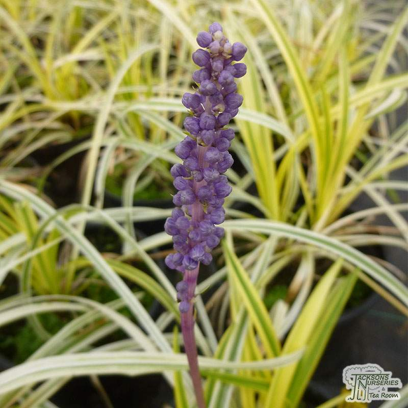 Buy Liriope Muscari Variegata Lily Turf In The Uk
