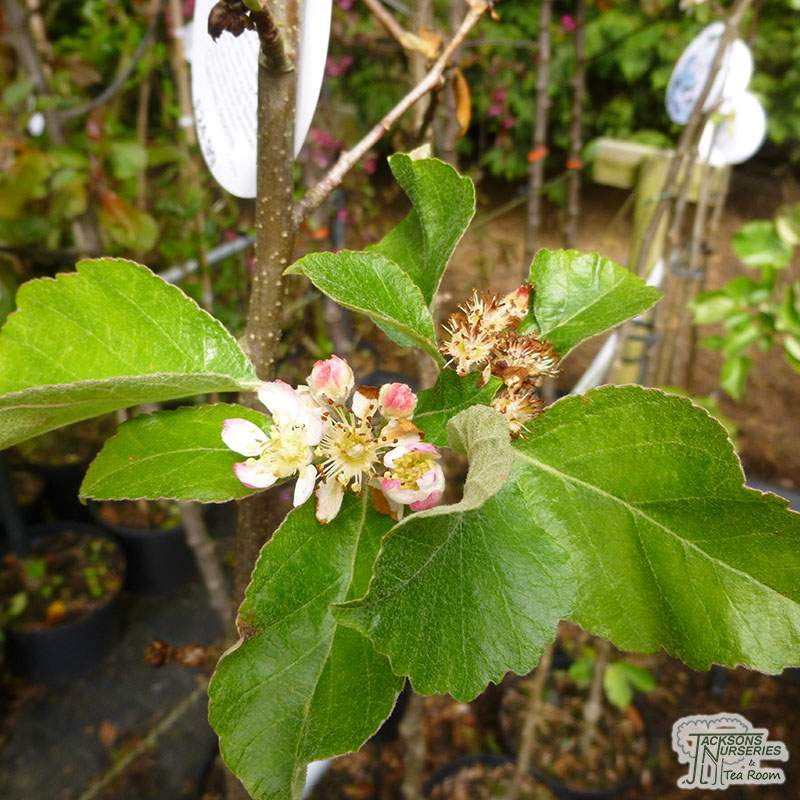 Buy Malus Tschonoskii Crab Apple In The Uk