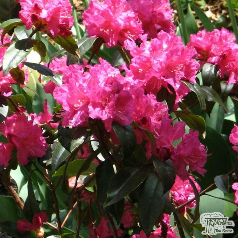 Buy Rhododendron Karin Williams Rhododendron In The Uk