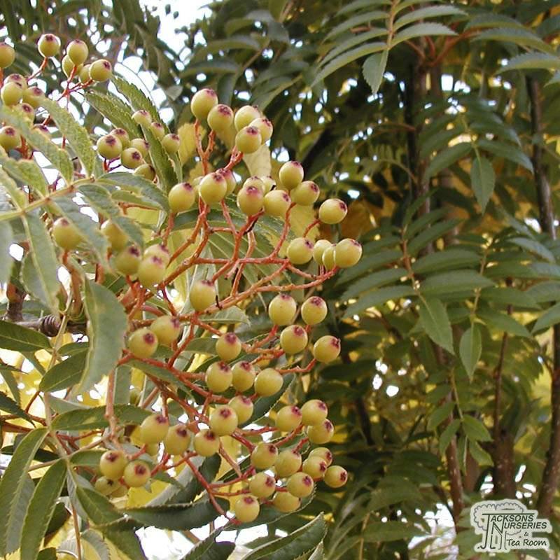 Buy Sorbus Aucuparia Autumn Spire Mountain Ash In The Uk