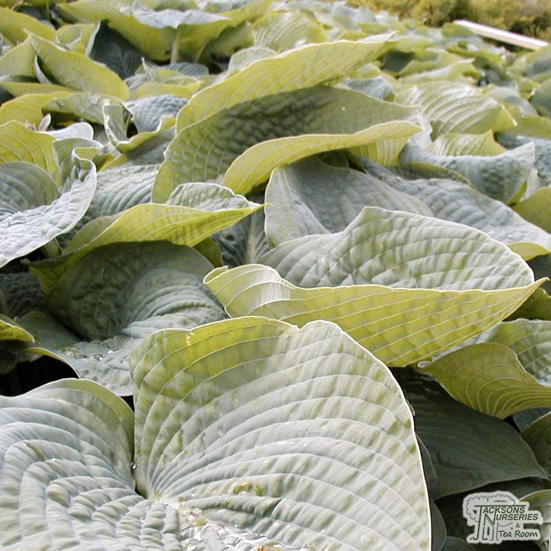 Buy Hosta Empress Wu Plantain Lily In The Uk