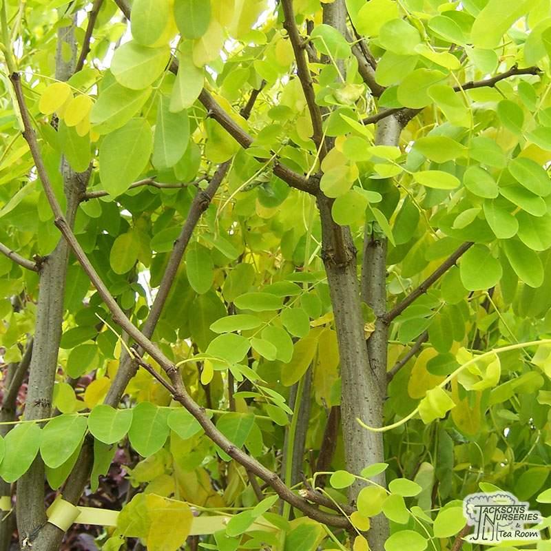 Buy Robinia Pseudoacacia Frisia False Acacia In The Uk
