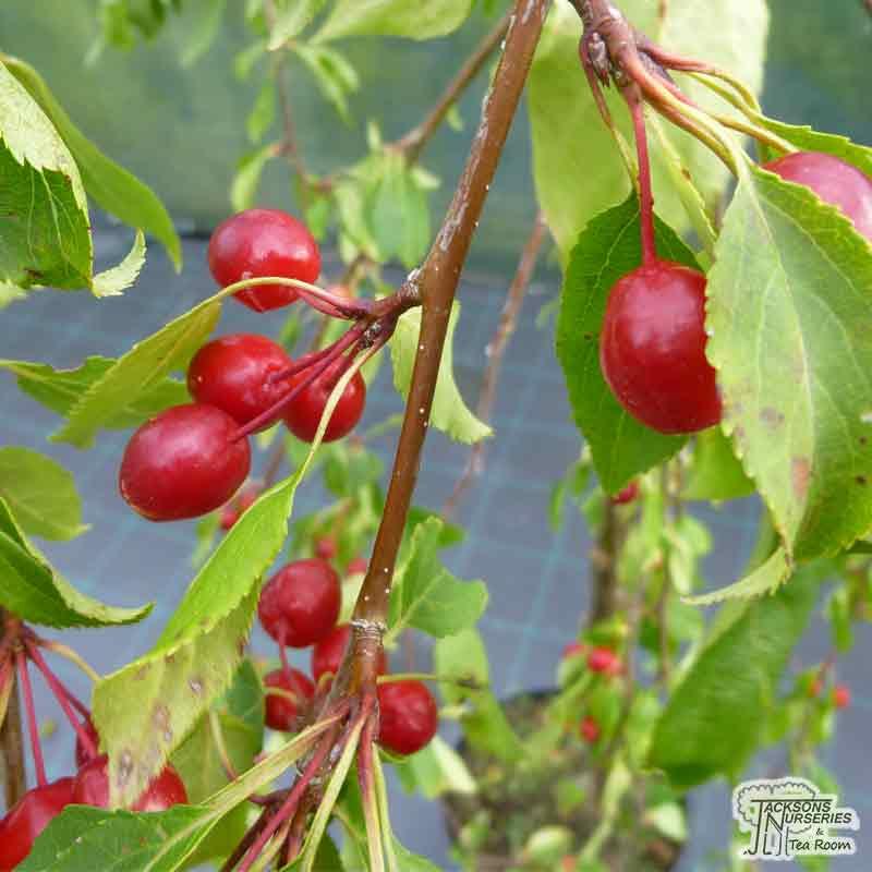 Buy Malus X Scheideckeri Red Jade Weeping Crab Apple In