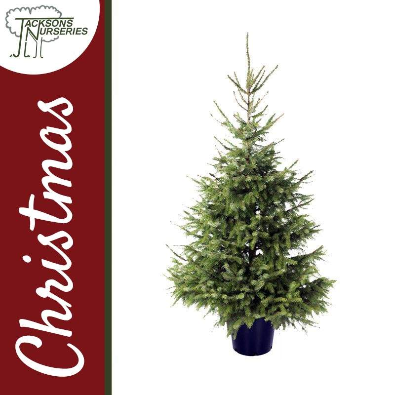 c3094565b62 Buy Real Serbian Spruce Christmas Trees Online ...