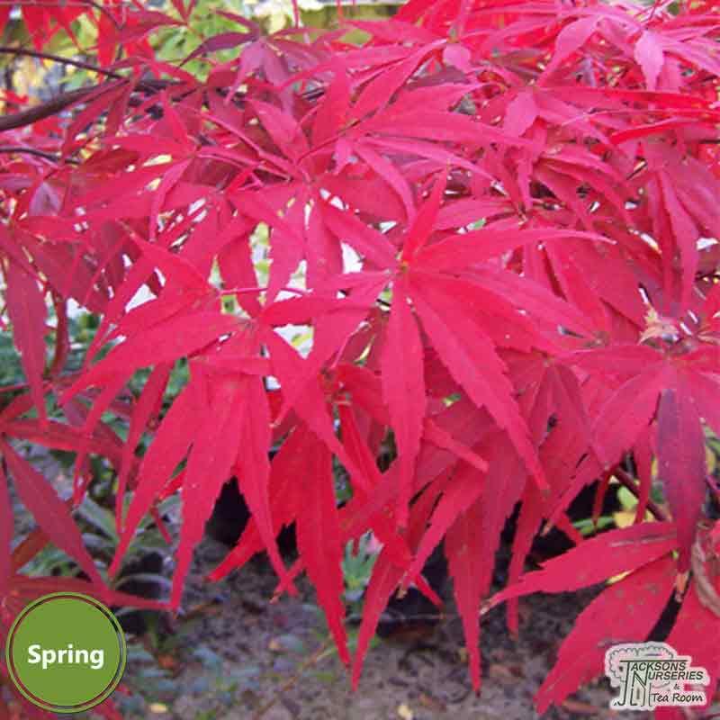 Buy Acer Palmatum Shaina Japanese Maple In The Uk