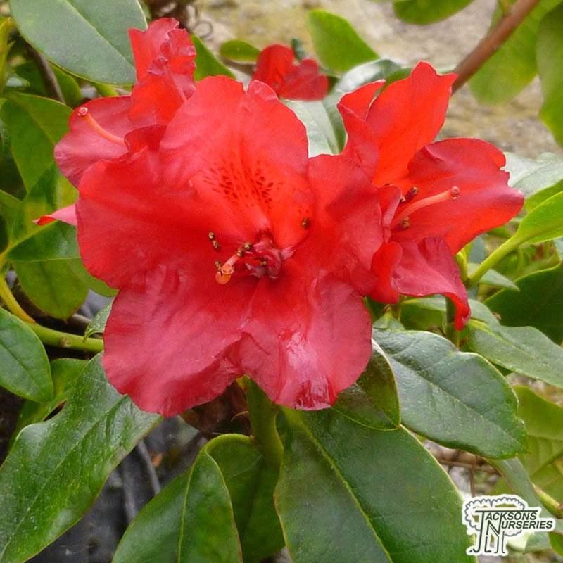 Buy Rhododendron Baden Baden Dwarf Hybrid Rhododendron