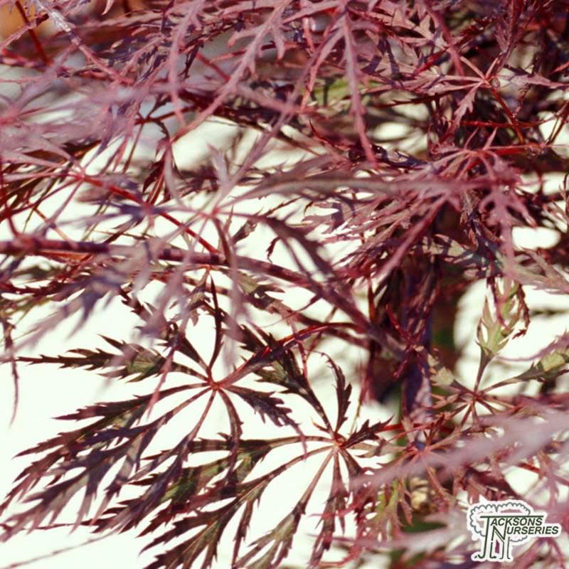 Buy Acer Palmatum Stella Rossa Japanese Maple In The Uk