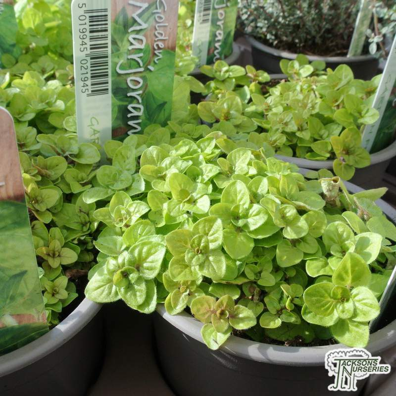 3 Compact Marjoram plants in 9cm pots Perennial herb plant