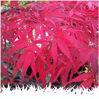 Japanese Acer plants
