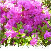 Rhododendron plants