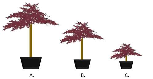 Japanese Acer Size Guide