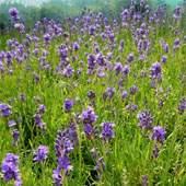 Buy Fragrant Plants Online