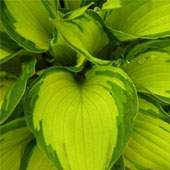 Buy Plants for Shade Online