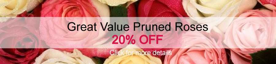 Pruned Roses - 20% OFF at Jacksons Nurseries