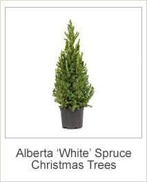 buy alberta spruce picea glauca var alberta dwarf christmas trees online at jacksons nurseries - Christmas Trees Online
