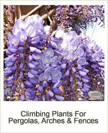 Buy Climbing Plants For Pergolas, Arches & Fences