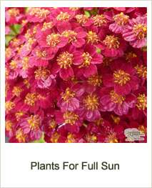 Buy Plants Suitable For Full Sun Online