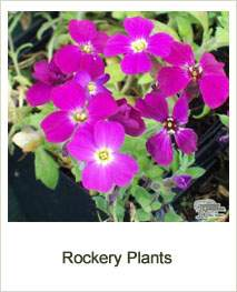 Buy Rockery Plants Online