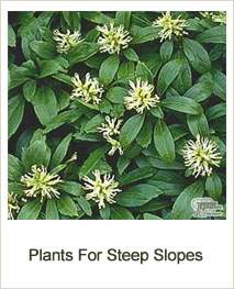 Buy Plants For Steep Slopes Online
