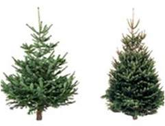 Different Types of Real Christmas Tree