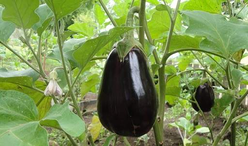 Aubergine on veg patch