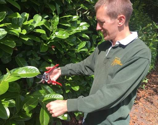 Pruning laurel hedge with secateurs