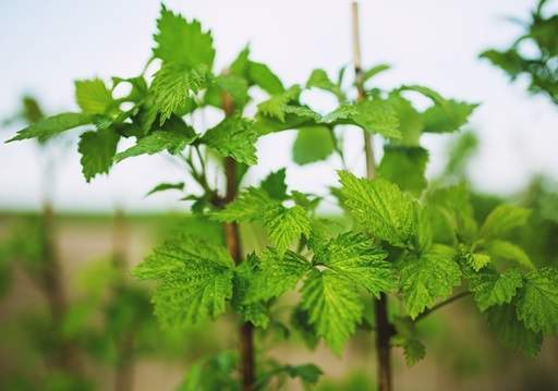 Raspberry plants green leaves